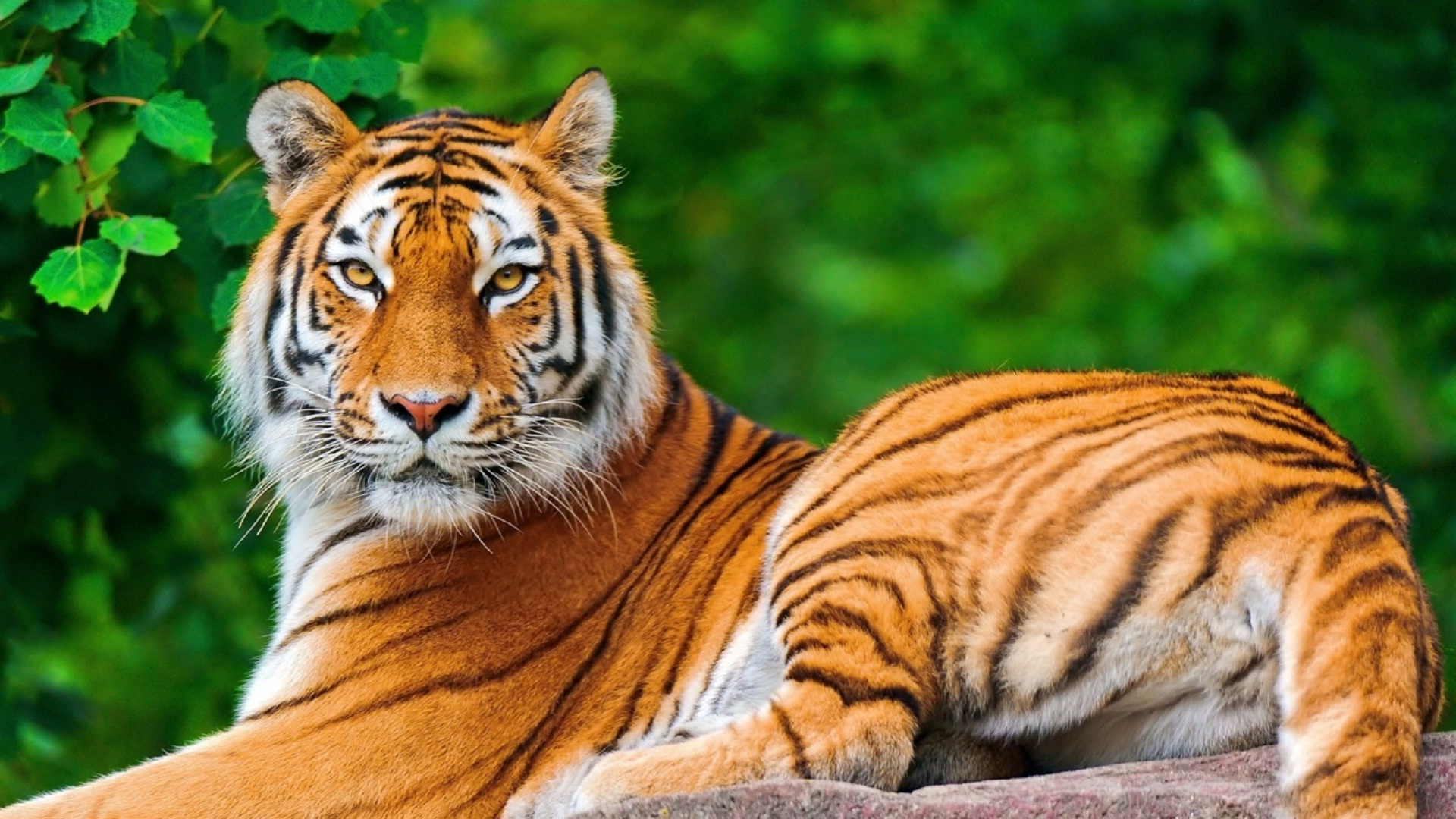 Indian-tiger-relaxing-in-forest